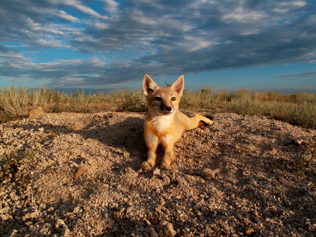 TRLcam_Long Range Remote_swift fox